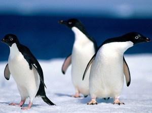 Pingouin_39236